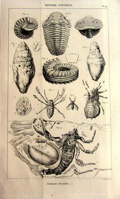 1852 Antique paleontology print vintage, prehistoric trilobite plate by LyraNebulaPrints.