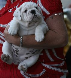I think this is one of the chubbiest bulldog puppy I've ever seen...what a cute pie!