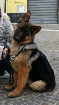 """big puppy German Shepherd. I feel like it's thinking """"oh, really?!"""" In a sassy way."""