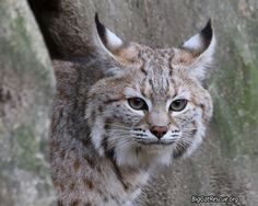 If a big cat sneezes in the world, you will find out about it here. Funny Cats, Funny Animals, Cute Animals, Wild Animals, Big Cat Rescue, Animal Rescue, Cat Sneezing, Sand Cat, Serval Cats
