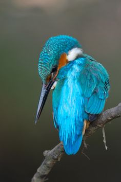this lovely bird is called a kingfisher they live in the forest near rivers. they are called kingfishers because they fish for there food which is oviousely. fish
