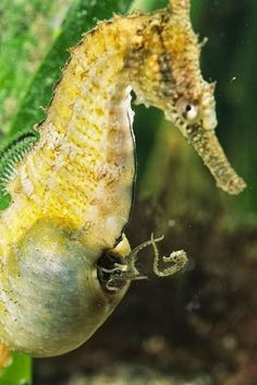 Father Seahorse giving birth to his babies (=