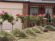 Pink Standard Roses Hedge