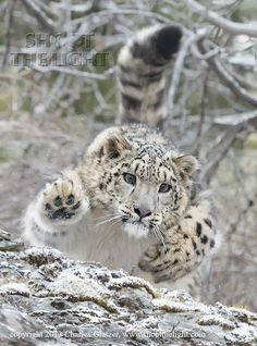 """Snow leopard"" by Charles Glatzer. The snow leopard is a large cat native to the mountain ranges of Central and South Asia. It is listed as endangered. Pretty Cats, Beautiful Cats, Animals Beautiful, Big Cats, Cool Cats, Cats And Kittens, Siamese Cats, Chat Lion, Animals And Pets"