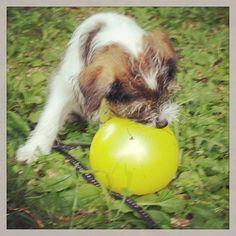heididahlsveen:  I will make you #burst #atsjoo #puppy #pet #dog #hund #valper