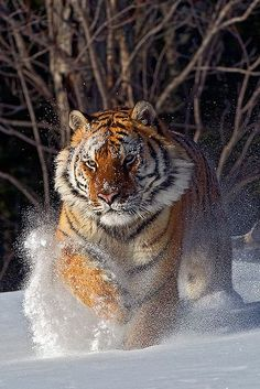 Tiger in snow Big Cats, Cool Cats, Cats And Kittens, Siamese Cats, Tiger Pictures, Animal Pictures, Nature Animals, Animals And Pets, Wild Animals