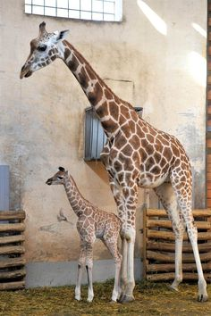 Great giraffes  A newborn giraffe is seen with its mother Sandra, in the Budapest Zoo in Budapest, Hungary, on May 19.