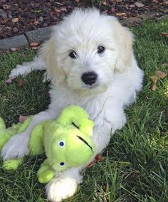 Gabby the Goldendoodle