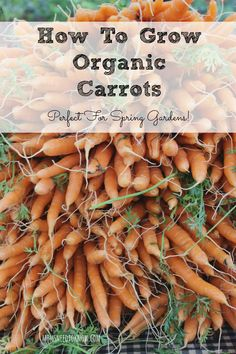 Carrots are the perfect vegetable to plant in your Spring garden.  Here is how to grow organic carrots!