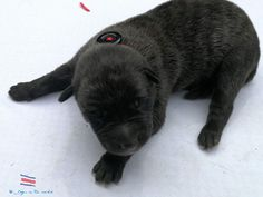 DUTCH SHEPHERD, 5DAYS FROM COSTA RICA Dutch Shepherd Dog, Costa Rica, Dogs, Dogs And Puppies, Animaux, German Language, Doggies, Dog