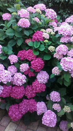 Hydrangea Care, Hydrangea Flower, Garden Trees, Garden Plants, Amazing Flowers, Beautiful Flowers, Dream Garden, Pink Garden, Flower Aesthetic