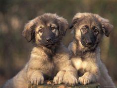 Owatcha Puppies (Malamute and Wolf Mix)