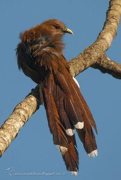 Tingazú (Squirrel Cuckoo) Piaya cayana » Focusing on Wildlife