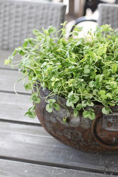 KUKKALA #apila #trifolium