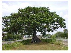 Ceiba Tree in Quebradillas, PR Puerto Rico, Most Beautiful, Beautiful Places, Nature Tree, Fauna, Central America, Earth, Green, Flowers
