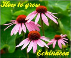 Growing echinacea(coneflower) from seed and root - Improving your life health and family