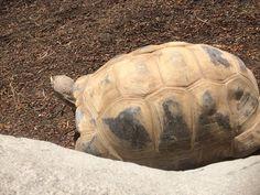 Turtle  Los Angeles Zoo, Turtle, Animals, Turtles, Animales, Animaux, Tortoise Turtle, Tortoise, Animal