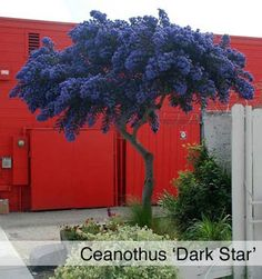 Ceanothus Dark Star. I don't know if this grows in my region but I WANT one. :-) Stunning!!