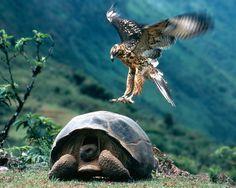 Wees geduldig. Zit stil, wacht, en uiteindelijk vliegt die adelaar je frame in! (Galápagos)