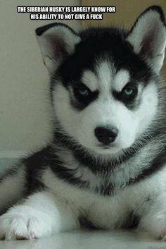 Fucking my female husky