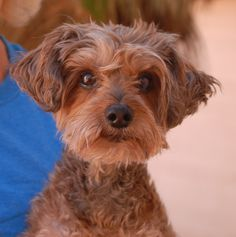 Almonds is an especially sweet and humble little cutie with a broken heart.  He doesn't understand why he became homeless when he did nothing wrong.  (A member of his previous family was reportedly allergic to him.)  Almonds is a Yorkie-Poo (Yorkshire Terrier & Toy Poodle mix), about 8 years of age, a neutered boy, ready for adoption at Nevada SPCA (www.nevadaspca.org).  Almonds is good with other dogs and reportedly housetrained and fine with mature kids.