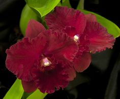 Potinara Rubescense 'Suo' x Potinara Elaine Taylor Orchid Planters, Red Orchids, Cattleya Orchid, Wild Orchid, Blooming Flowers, Flowering Trees, Planting Flowers, Exotic, Delicate