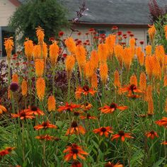Orange delight with a hint of contrast- Kniphofia Mango Popsicle and Helenium with verbena bonariensis.
