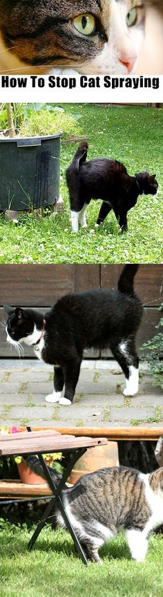 There are some easy ways to stop your cat from spraying....