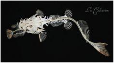 Poisson Chat mange une Carpe / Cat Fish eat a Carp