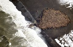 An estimated 35,000 walruses are pictured are pictured hauled out on a beach near the village of Point Lay, Alaska, 700 miles northwest of Anchorage, in this photo taken in <span>September of 2014</span>. According to scientists, the congregation of Pacific walruses—one of the largest ever—was prompted by a lack of sea ice, which the walruses use to rest in Arctic waters.