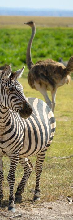 Zebra, ostrich