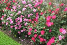 Picture of GOURGEOUS knock out rose bushes. Shrub roses.