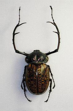 Cheirotonus parryi (Natural History Museum, London)