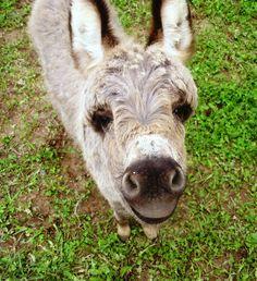 Gigi - Miniature Donkey  www.jandmfarmminidonks.com