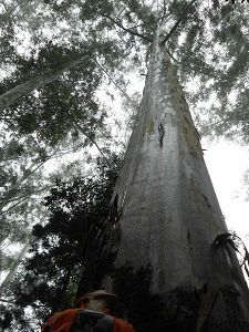 Blue gum tallest tree SA Woodbush Forest Reserve
