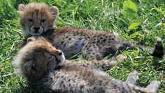 Toronto CityPASS® includes a ticket to the Toronto Zoo. See the best of Toronto for less with CityPASS®. Toronto Zoo, City Pass, Zoos, Ticket, Places To Visit, Spaces, Travel, Animals, Voyage