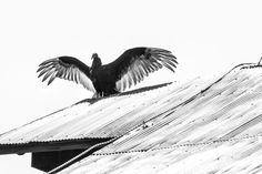 The Show-off - Turkey vulture on a  barn roof.