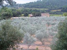 Argile blanche sur oliviers