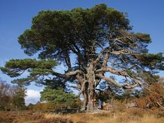 Scots pine is an evergreen conifer native to northern Europe