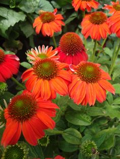 Echinacea 'Sombrero Salsa Red' Coneflower. Cone flowers are almost a staple in gardens, in my opinion, and watch out - I've ordered one that is a bright orange, similar to this one, from a local CT grower for May 2015. This is another THRILLER in container gardens, and the one I've ordered is NEW on the scene.