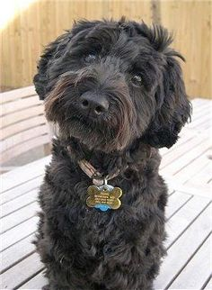 This is a schnoodle, which is a schnauzer-poodle hybrid. This schnoodle has the same coloring as my Clarice. Miniature Schnauzer Puppies, Schnauzer Puppy, Schnauzers, Miniature Schnoodle, Giant Schnauzer, Cute Puppies, Cute Dogs, Dogs And Puppies, Doggies