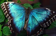 butterfly with iridescent wings from Morpho genus