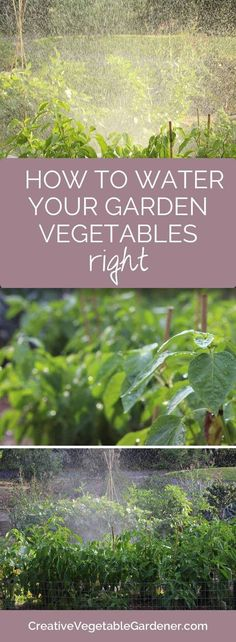 Summer can be hot and dry. Here's how to water your vegetable garden. #summervegetablegardening #vegetablegardening