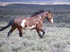 Bay pinto mustang - Sand Wash Basin Wild Horses: Kiowa