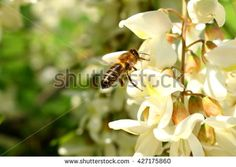 honey bee on the white flower of acacia - Robinia pseudoacacia; closeup