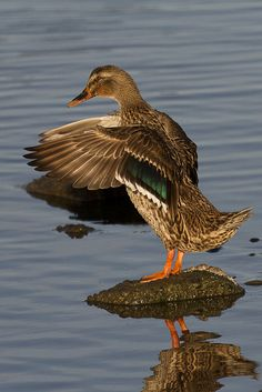 Beautiful Mallard Duck. Must have been past breeding season in Lassen Volcanic N.P. Did not see any  males. Just females.