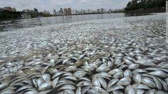 Repentinamente mueren millones de peces en todo el planeta - http://www.renovablesverdes.com/repentinamente-mueren-millones-peces-planeta/