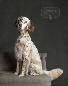 A gorgeous liver belton English Setter. Classic portraits of pets from award-winning photographer, Danica Barreau. www.pouka.com