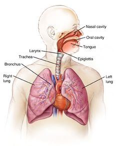 Respiratory System Diagram: INTEGRIS Pulmonologists Oklahoma ... 6d5580fa193b117e6e02a594a0b0b111 6d5580fa193b117e6e02a594a0b0b111