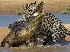 Jaguar vs Crocodile